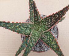 ALOE 'D.Z.'  10cm superb colourful textured leaf USA succulent cutlvar