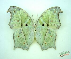 Mother of Pearl Real Butterly Salamis Parhassus SET Verso x1 A1- Entomology