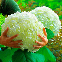 20 PCS Seeds White Hydrangea Plants Bonsai Viburnum Macrophylla Flowers Garden M