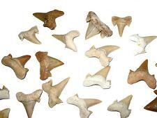 Eocene Otodus obliquus shark tooth fossil 50 million years old smaller size