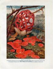 c1900 EXOTIC MUSHROOMS FUNGI Antique Litho Print W.Bolsche