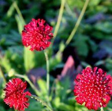 Mazedonische Witwenblume, Knautia Mars Midget