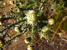 LEMON HONEY-MYRTLE (Melaleuca Densa) Seeds
