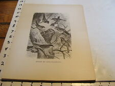 1880's print: GROUP OF SONG-WARBLERS