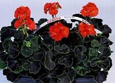 Geranium Zonal Black Velvet Series Red Seeds
