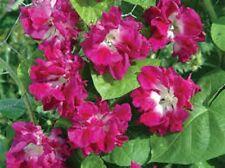 Japanese Morning Glory SUNRISE SERENADE✿100 SEEDS✿Double Pink Ruffled Flowers