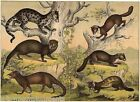 Ferrets Badgers Weasels Full Color 1870s Antique Engraving Poster Print