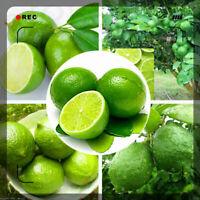 Thai Organic Key Lime Aurantifolia Seeds Citrus Lemon Seeds Fruit Seeds 20PCS