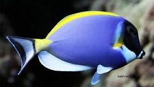 "Powder Blue Tang Surgeon Saltwater Tropical Fish 3-3.5"" Indian Ocean Marine"