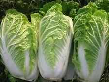 Seeds Cabbage Michelle Green Long Vegetable Organic Heirloom Russian Ukraine