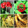Panax Ginseng Seeds Medicinal Herb Seeds Vegetables Plants Seeds Panax Ginseng