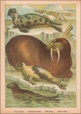 Seals & Walrus, antique chromolithograph original 1897