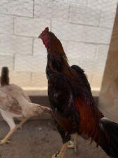 Shamo Brazilian Pullet Gamefowl Chicken Hatching Eggs
