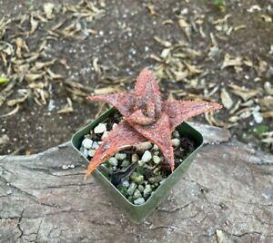 NICE A+++ Aloe CV Raspberry Ruffles RARE Hybrid Aloe CV Cultivar
