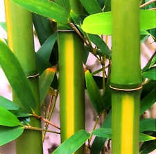5-PACK Cold Hardy  'Yellow Groove' Running Bamboo Rhizome LARGE PRIVACY WALL