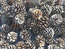 50 Small Scotch Pine Cones For Crafts and Art Projects-Home Decor
