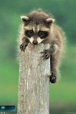 ANIMAL POSTER ~ RACCOON BABY ON A LOG 22x34 Animals