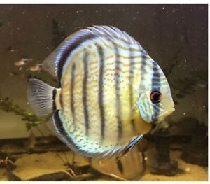 """2 Wild Adult Red Spot Discus 6"""" Live Tropical Fish Beautiful"""