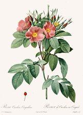 P.J. Redoute Les Roses Illustrations Rosa-Carolina Art Print