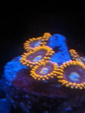 Fire and Ice Zoa (Zoanthid) 3 Polyp Frag by Zoa.World
