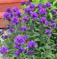 """DWARF Clustered BELLFLOWER ~Deep Violet-Blue~ """"Campanula Glomerata"""" 25+ Seeds"""