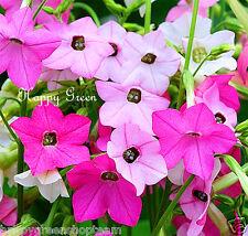 Tabaco ornamental - 4000 semillas-Mezclado sensación Nicotiana amilólisis grandiflora
