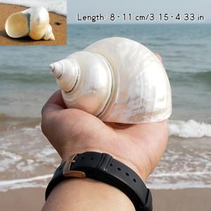 8-11CM Naturel Coque Mer Conque Snail Poisson Réservoir Aquarium Décor Paysage