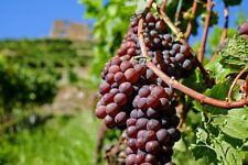 50 Heirloom Red Grape Seeds Super Abundant