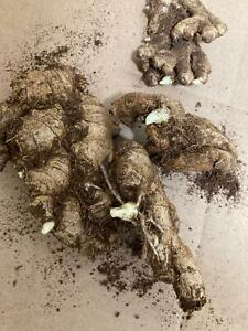 Ginger 2 young sprouted roots EDIBLE GINGER root rhizomes for growing in UK