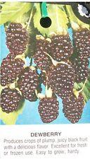 Austin Dewberry 1 Gal Live Plant Delicious Nutritious Health Plants Dewberries
