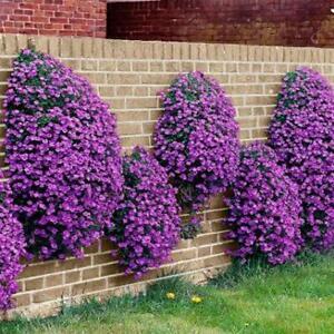 Rockcress Cascading Purple Flower Seeds (Aubrieta Hybrida) 50+Seeds