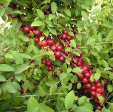 Prunus cerasus humilis (5 graines/Seeds)