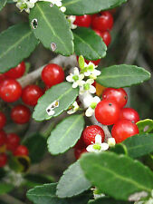 ilex cassine- DAHOON HOLLY Florida native wild tree bonsai shrub seed  15 seeds