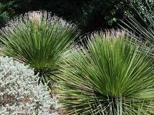 1 PLANT Dasylirion texanum DASILIRIO SUCCULENT PLANT little palm no agave aloe