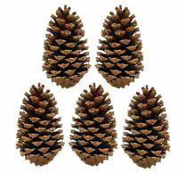 5x Pinus Maritima Zapfen 10-15 cm Deko Maritimazapfen natur getrocknet sauber