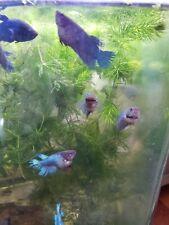 Live Betta Fish Female Sorority  Random pick - 4 month blue teal CT, USA breeder