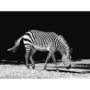 Lone Zebra BW Large Canvas Wall Art Print