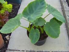 Eddoes (Colocasia esculenta var.aquatilis) 5 Bulbs Rare!
