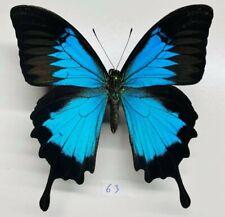Papilionidae Papiilio Ulysses mâle mounted a1 ceram