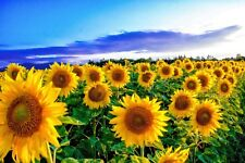 STUNNING SUMMER SUNFLOWERS FIELD CANVAS PICTURE POSTER PRINT UNFRAMED 135