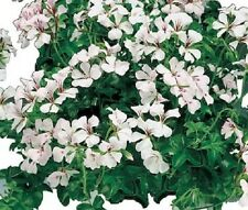 15 Seeds Film Coated Tornado White Geranium Seeds Trailing Geranium