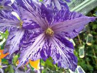 "Plant Tie Dye Clematis Large 6"" Flowers Dark Purple/Silver Streaks 2.5"" Pot"
