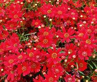 COREOPSIS RED DWARF Coreopsis Tinctoria - 10,000 Bulk Seeds