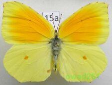 Gonepteryx cleopatra (Linnaeus, 1767) male Croatia15a