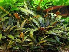 Live Aquatic Aquarium Tropical Tank Plants - Cryptocoryne wendtii 'Green'
