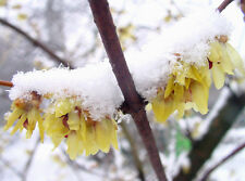 rare fragrant shrub, Chimonanthus praecox, Wintersweet, Winter flowering, hardy