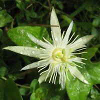 Passiflora Capsularis White Vanilla Cream Passion Fruit Flower Maracuya 10 Seeds