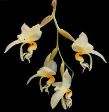 102 Orchid Stanhopea Embreei - Large Flowering Size