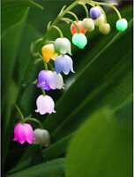 Windbell Colorful Orchid Lily of the Valley Flower 80 SeedsBUY 4 ITEMS FREE SHIP