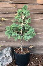 Picea glauca ,,Conica'' - White Spruce - topiary - bonsai tree starter